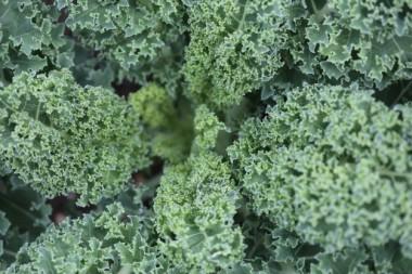 lettuce-plant-texture_434-19316008.jpg